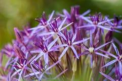Lila Blüten Lizenzfreie Stockfotografie