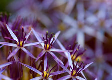 Lila Blüten Lizenzfreie Stockbilder