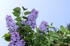 Lila Blüten stockfotografie