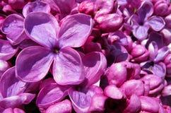 Lila Blüten-Makro Stockbilder