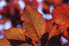 Lila-blad plommon - körsbärsröd plommon Royaltyfria Bilder