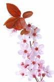 Lila-blad plommon (Prunuscerasiferaen) royaltyfri fotografi