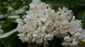 Lila blanca imagen de archivo