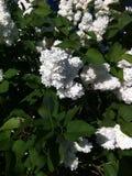 Lila blanca Fotografía de archivo libre de regalías