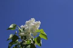Lila blanca Fotografía de archivo