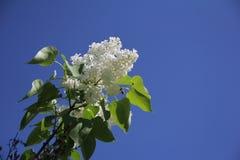Lila blanca Imagen de archivo libre de regalías