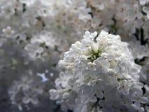 Lila blanca Fotos de archivo