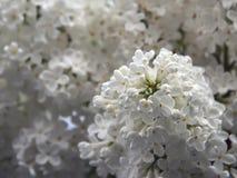 Lila blanca Imagenes de archivo