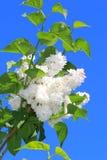 Lila blanca de la primavera hermosa contra el cielo azul fotos de archivo
