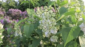 Lila blanca delicada blanda, flores dobles vulgaris del Syringa, vista paanoramic del jardín de la lila almacen de metraje de vídeo