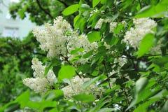 Lila blanca floreciente Fotos de archivo
