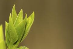 Lila Blatt-Knospe in der Frühjahr-Nahaufnahme Stockfotos