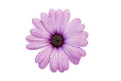 Lila blomma Royaltyfria Bilder