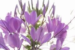 Lila blomma arkivbilder