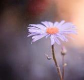 Lila blomma Arkivfoto