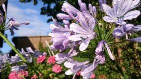 Lila blomma Royaltyfri Foto