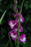 Lila blomma av en gladiolus Arkivfoto