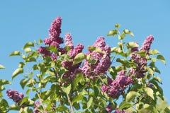 Lila blomma den blåa himlen Royaltyfri Bild
