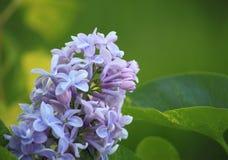 Lila blomma för blomma fotografering för bildbyråer