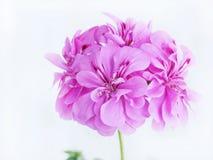 Lila blomma för pelargon (pelargonia) Fotografering för Bildbyråer