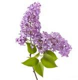 Lila blomma på white royaltyfri foto