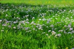 Lila blommande Cardaminepratensis mot den suddiga naturliga bakgrunden av ett lantligt fält Arkivbilder