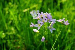 Lila blommande Cardaminepratensis mot den suddiga naturliga bakgrunden av ett lantligt fält Arkivbild