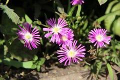 lila blommas blommor Royaltyfri Foto