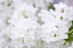 lila blommas blommor Arkivfoto