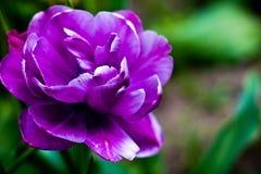 Lila blommatulpan arkivfoto