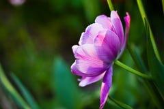 Lila blommatulpan royaltyfria foton