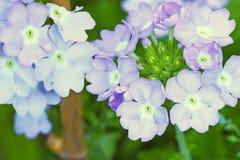Lila blommor royaltyfri fotografi