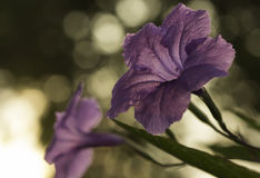 Lila blommor royaltyfri foto