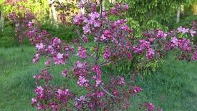 Lila blommor av blomningApple-trädet i trädgårds- vår Kamera som vippar på upp lager videofilmer