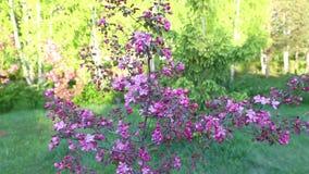 Lila blommor av blomningApple-trädet i trädgårds- vår Kameraspår ut lager videofilmer