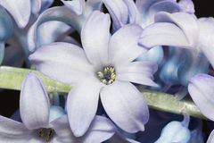 Lila blommor av hyacintet - nära övre Fotografering för Bildbyråer