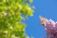 Lila blommor i den gröna trädgårdbakgrunden i en solig dag med en orange fjärilsAglais urticae royaltyfri foto