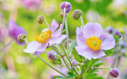 Lila blommor, makro Royaltyfri Bild