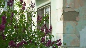 Lila blommor nära ett gammalt hus i förfall stock video