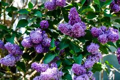 Lila blommor på en Bush i solen royaltyfria foton