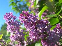 Lila blommor på solig dag royaltyfri bild