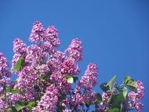 Lila blommor på solig dag med bakgrund för blå himmel arkivbilder