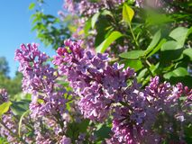 Lila blommor p? solig dag royaltyfri fotografi