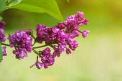 Lila blommor st?nger sig upp med solstr?lar och bokehv?ren eller sommarbakgrund arkivfoton