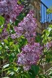 Lila blomning Fotografering för Bildbyråer