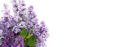 Lila blomning som isoleras på vit bakgrund med tomt utrymme Arkivbild