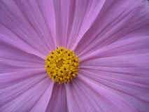 Lila Blume stockfoto