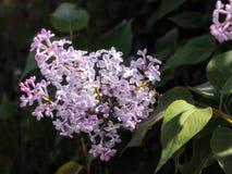 Lila Blume auf einem Busch Stockbild