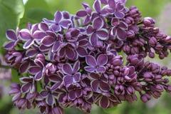 Lila Blume ` Empfindung ` Blütenabschluß oben lizenzfreie stockbilder