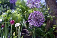 Lila Blume im Garten vor dem hintergrund der Blumenblätter Lizenzfreie Stockfotos